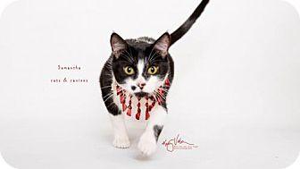 Domestic Shorthair Cat for adoption in Westlake, California - MAMA SAMANTHA - SANTA BARBARA