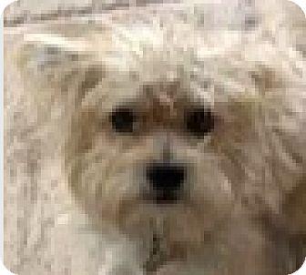Poodle (Miniature)/Maltese Mix Dog for adoption in Boulder, Colorado - Toby-ADOPTION PENDING