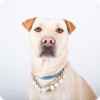 Adopt A Pet :: Lucy A-LAP - Atlanta, GA
