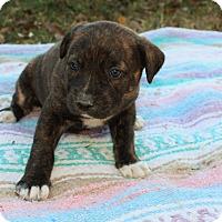 Adopt A Pet :: Jasmine $250 - Seneca, SC