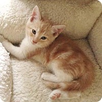 Adopt A Pet :: Babykins N. - Orlando, FL