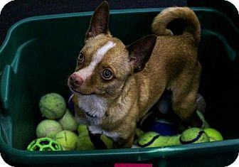 Chihuahua Mix Dog for adoption in Mukwonago, Wisconsin - Bing - Adoptable of the Month
