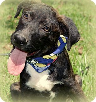 German Shepherd Dog/Labrador Retriever Mix Dog for adoption in Groton, Massachusetts - Gretchen