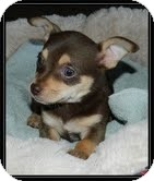 Chihuahua Mix Puppy for adoption in Hagerstown, Maryland - Munchkin