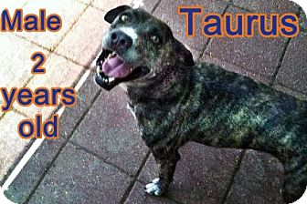 Plott Hound/Pointer Mix Dog for adoption in Boaz, Alabama - Taurus