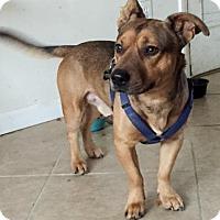 Adopt A Pet :: Scrappy- Courtesy Listing - Fredericksburg, VA