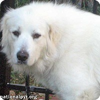 Great Pyrenees Dog for adoption in Beacon, New York - Zuri in NY