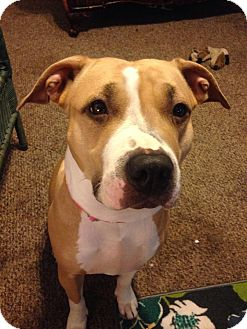 American Pit Bull Terrier Dog for adoption in Des Moines, Iowa - Baby