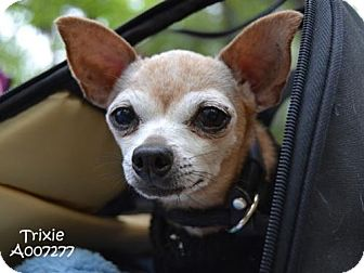 Chihuahua Dog for adoption in Conroe, Texas - Trixie
