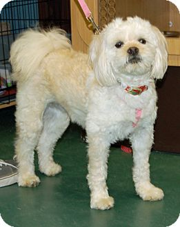 Cockapoo Dog for adoption in Lutherville, Maryland - Molly