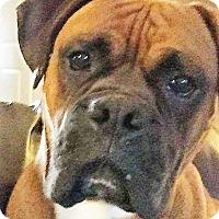 Adopt A Pet :: Bruno - Germantown, MD