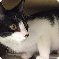 Adopt A Pet :: Domino - Gadsden, AL