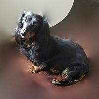 Adopt A Pet :: Isabell - Louisville, CO