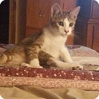 Domestic Shorthair Kitten for adoption in Fort Pierce, Florida - Georg (Gay-Org)