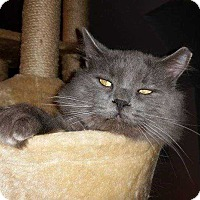 Domestic Mediumhair Cat for adoption in Belton, South Carolina - Augustus