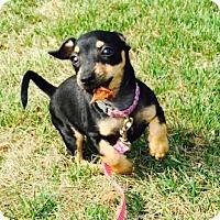 Adopt A Pet :: Pebbles Flintstone - Columbia, MD