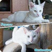 Adopt A Pet :: Marshmallow & Popcorn - Montclair, CA