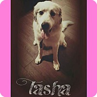 Great Pyrenees Dog for adoption in Mesa, Arizona - Tasha