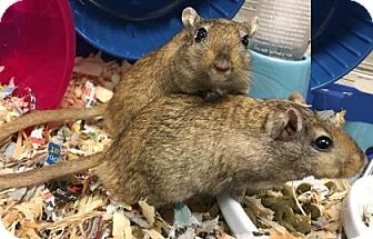 Gerbil for adoption in Voorhees, New Jersey - Honey