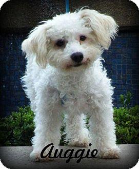 Maltese/Poodle (Miniature) Mix Dog for adoption in Anaheim Hills, California - Auggie