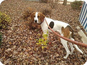 Treeing Walker Coonhound Mix Puppy for adoption in Meridian, Idaho - Yogi