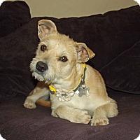 Adopt A Pet :: Amy - Phoenix, AZ
