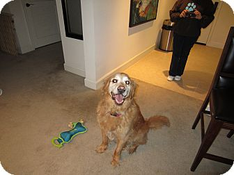 Golden Retriever Dog for adoption in Phoenix, Arizona - Sunni