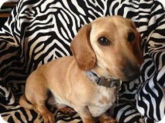 Dachshund Dog for adoption in Atascadero, California - Ghost Rider