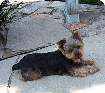 Yorkie, Yorkshire Terrier Mix Dog for Sale in Sheboygan, Wisconsin - Sawyer