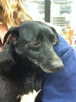 Corgi/Dachshund Mix Dog for adoption in Fresno, California - Bob