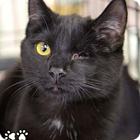Adopt A Pet :: Popeye - Merrifield, VA