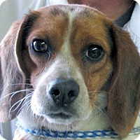 Adopt A Pet :: Carrie - Germantown, MD