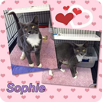 Domestic Shorthair Cat for adoption in Atco, New Jersey - Sophie