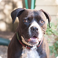 Pit Bull Terrier/Boxer Mix Dog for adoption in Portland, Oregon - Bella (foster)