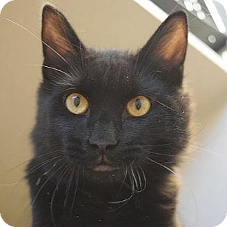Domestic Longhair Cat for adoption in Denver, Colorado - Rufus