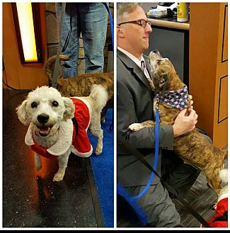 Poodle (Miniature) Mix Dog for adoption in Fincastle, Virginia - Sugar & Scrappy BONDED PAIR