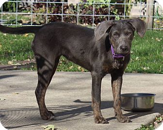Weimaraner/Hound (Unknown Type) Mix Puppy for adoption in Joliet, Illinois - Harley