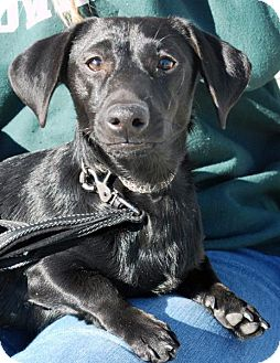 Dachshund Dog for adoption in Madison, Alabama - Nod