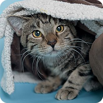 Domestic Shorthair Cat for adoption in Wilmington, Delaware - Maddon