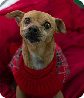 Chihuahua Mix Dog for adoption in Fallbrook, California - Willie