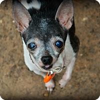 Chihuahua/Rat Terrier Mix Dog for adoption in Granbury, Texas - Kiki