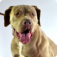 Cane Corso Puppy for adoption in Goodyear, Arizona - Nala