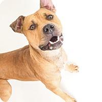 Adopt A Pet :: Spyke - Phoenix, AZ