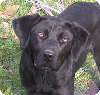 Labrador Retriever Mix Dog for adoption in Bluff city, Tennessee - TOBY-LOVING*PLAYFUL*