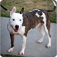 Bull Terrier/Pit Bull Terrier Mix Dog for adoption in Staten Island, New York - Joey
