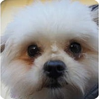 Adopt A Pet :: Breezy - Toluca Lake, CA