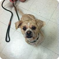Adopt A Pet :: Simba - Rockaway, NJ