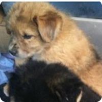 Adopt A Pet :: Benelli - Pending Adoption - Lancaster, PA