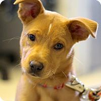 Adopt A Pet :: Callie - Bedford, VA