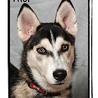 Adopt A Pet :: Thor - Warren, PA